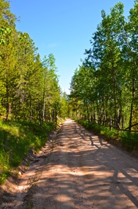 Mountain road lined with Pines & Aspen SMALL